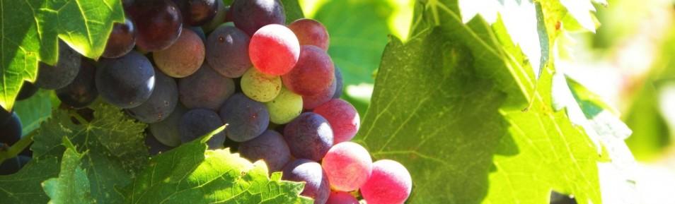 Böljande vinfält